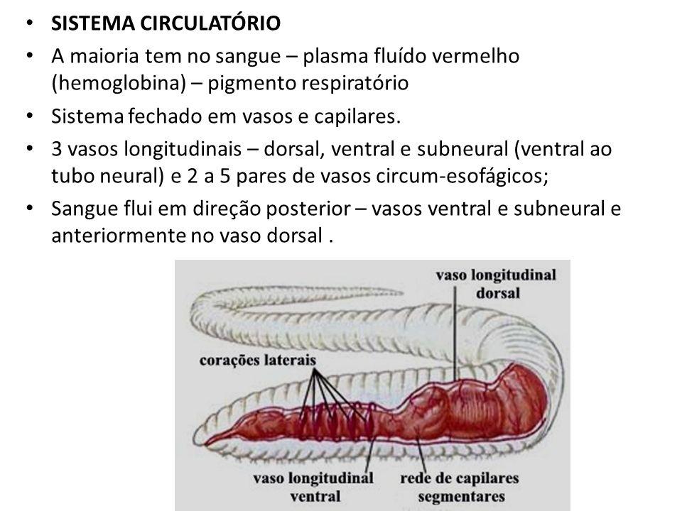 SISTEMA CIRCULATÓRIO A maioria tem no sangue – plasma fluído vermelho (hemoglobina) – pigmento respiratório Sistema fechado em vasos e capilares. 3 va