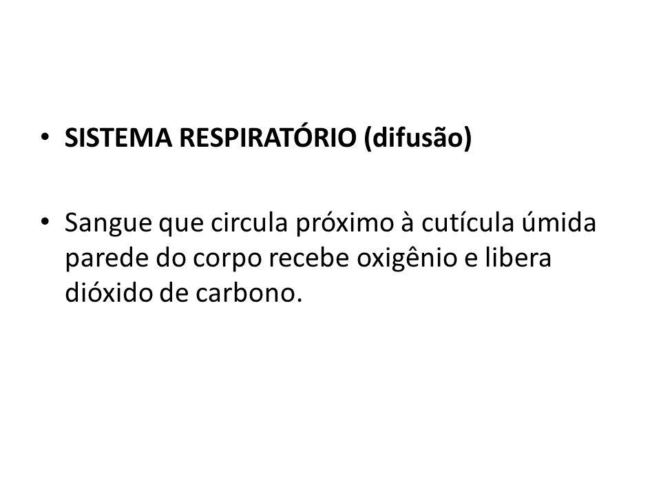 SISTEMA RESPIRATÓRIO (difusão) Sangue que circula próximo à cutícula úmida parede do corpo recebe oxigênio e libera dióxido de carbono.