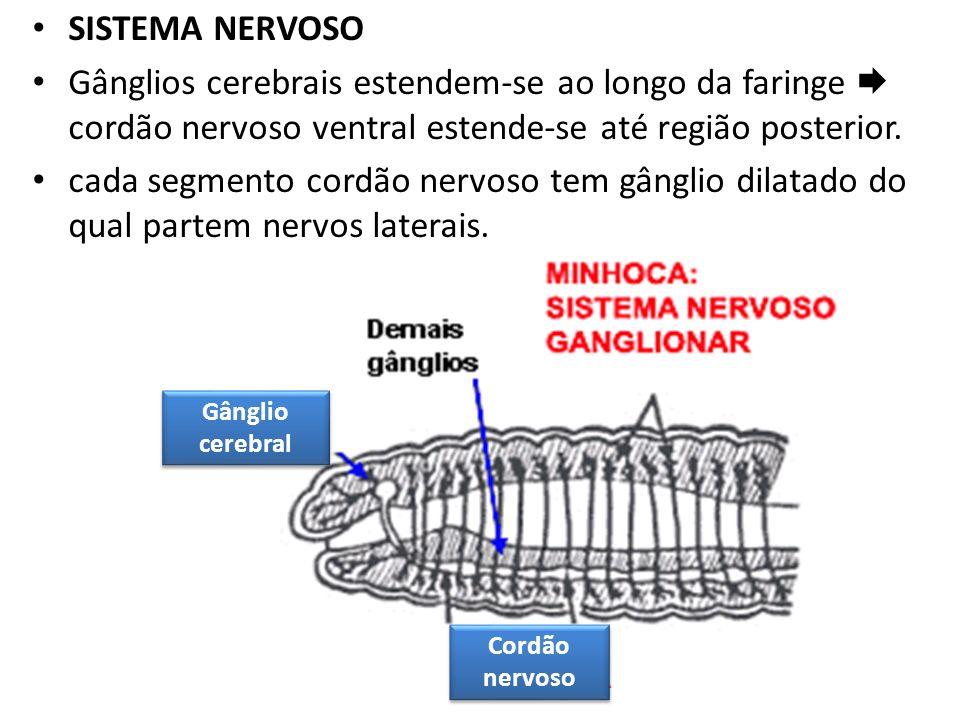 SISTEMA NERVOSO Gânglios cerebrais estendem-se ao longo da faringe cordão nervoso ventral estende-se até região posterior. cada segmento cordão nervos