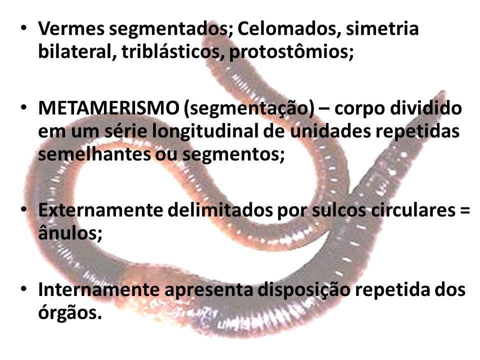 Vermes segmentados; Celomados, simetria bilateral, triblásticos, protostômios; METAMERISMO (segmentação) – corpo dividido em um série longitudinal de