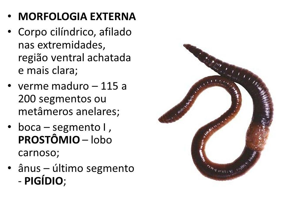 MORFOLOGIA EXTERNA Corpo cilíndrico, afilado nas extremidades, região ventral achatada e mais clara; verme maduro – 115 a 200 segmentos ou metâmeros a
