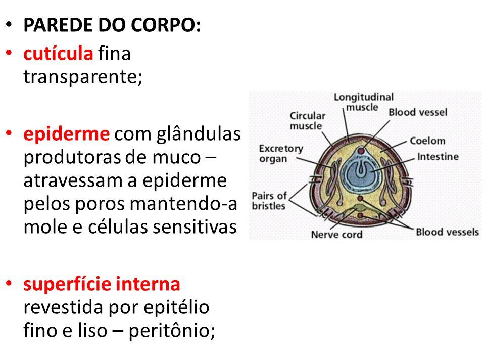 PAREDE DO CORPO: cutícula fina transparente; epiderme com glândulas produtoras de muco – atravessam a epiderme pelos poros mantendo-a mole e células s