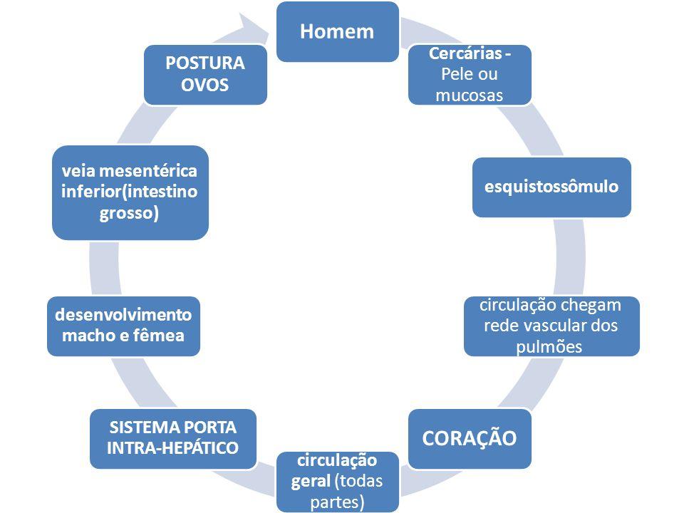 Homem Cercárias - Pele ou mucosas esquistossômulo circulação chegam rede vascular dos pulmões CORAÇÃO circulação geral (todas partes) SISTEMA PORTA INTRA-HEPÁTICO desenvolvimento macho e fêmea veia mesentérica inferior(intestino grosso) POSTURA OVOS