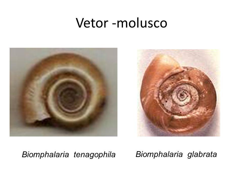 Vetor -molusco Biomphalaria glabrata Biomphalaria tenagophila
