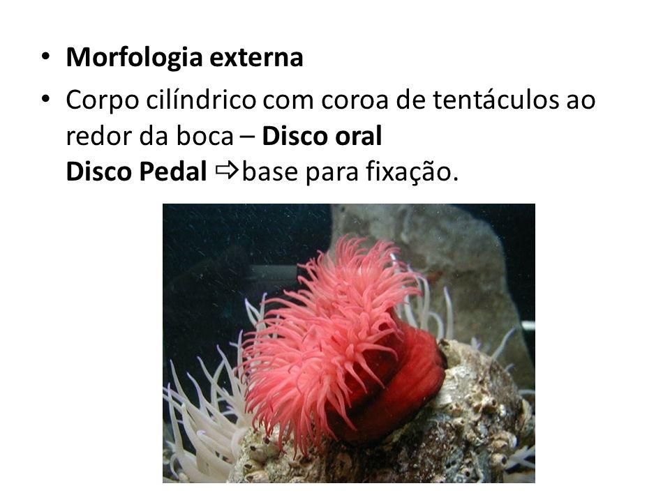 Morfologia externa Corpo cilíndrico com coroa de tentáculos ao redor da boca – Disco oral Disco Pedal base para fixação.