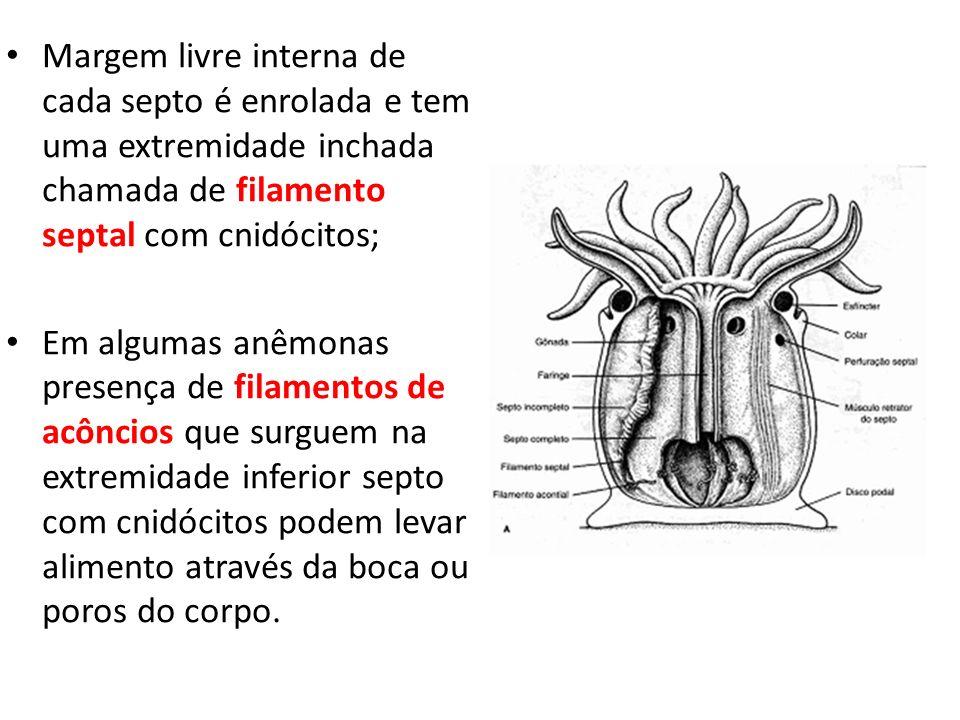 Margem livre interna de cada septo é enrolada e tem uma extremidade inchada chamada de filamento septal com cnidócitos; Em algumas anêmonas presença d