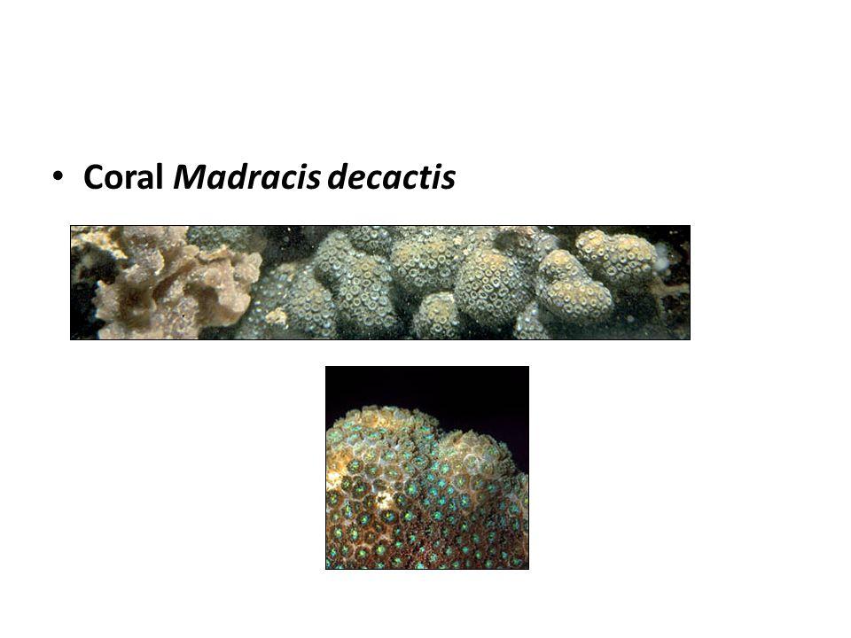 Coral Madracis decactis