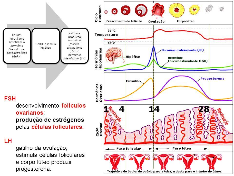 CICLO OVARIANO FSH e LH – mudanças ciclícas nos ovários (desenvolvimento folículos, ovulação e formação corpo lúteo) Durante ciclo: FSH – promove crescimento folículos primários; Apenas 1 transforma-se em folículo maduro rompe superfície do ovário expele ovócito 4 a 11 folículos degeneram a cada mês.