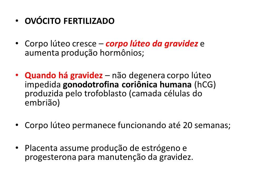 OVÓCITO FERTILIZADO Corpo lúteo cresce – corpo lúteo da gravidez e aumenta produção hormônios; Quando há gravidez – não degenera corpo lúteo impedida
