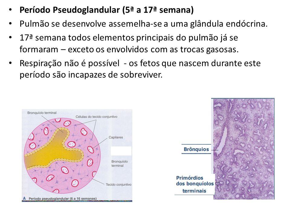 Período Pseudoglandular (5ª a 17ª semana) Pulmão se desenvolve assemelha-se a uma glândula endócrina. 17ª semana todos elementos principais do pulmão
