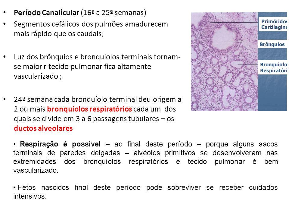 Período Canalicular (16ª a 25ª semanas) Segmentos cefálicos dos pulmões amadurecem mais rápido que os caudais; Luz dos brônquios e bronquíolos termina