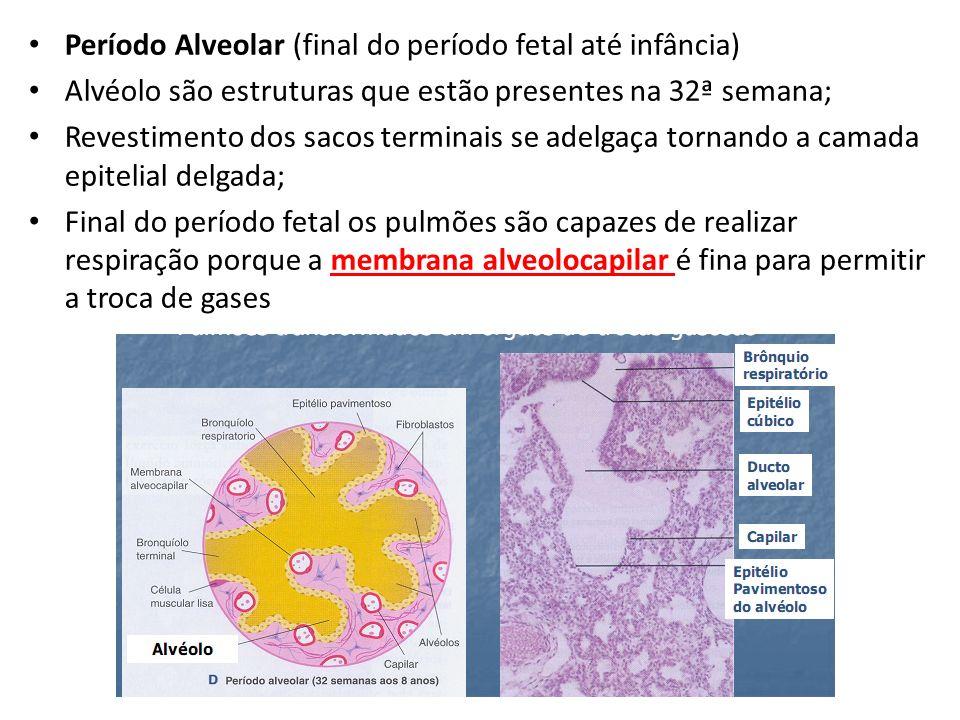 Período Alveolar (final do período fetal até infância) Alvéolo são estruturas que estão presentes na 32ª semana; Revestimento dos sacos terminais se a