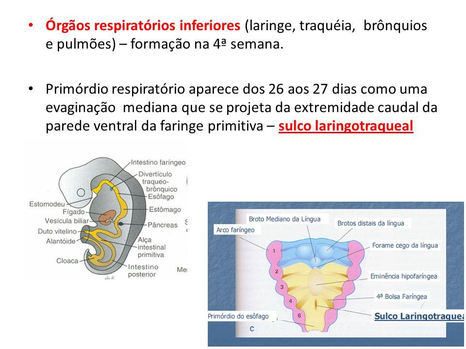 Órgãos respiratórios inferiores (laringe, traquéia, brônquios e pulmões) – formação na 4ª semana. Primórdio respiratório aparece dos 26 aos 27 dias co