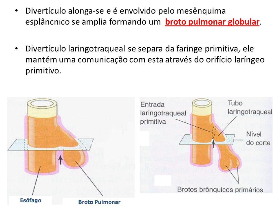 Divertículo alonga-se e é envolvido pelo mesênquima esplâncnico se amplia formando um broto pulmonar globular. Divertículo laringotraqueal se separa d