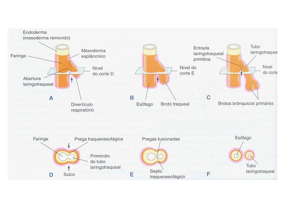 Sacos terminais são revestidos por céls epiteliais - células alveolares do tipo II ou pneumócitos I através dos quais ocorrem as trocas gasosas – desenvolvimento da rede capilar e dos capilares linfáticos; Sacos terminais possuem céls epiteliais secretoras – células alveolares do tipo II ou pneumócitos II que secretam o surfactante pulmonar –mistura complexa de fosfolipídeos.