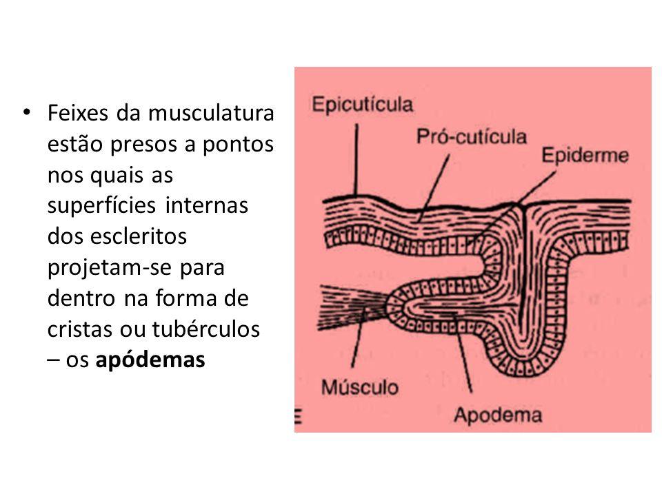 Feixes da musculatura estão presos a pontos nos quais as superfícies internas dos escleritos projetam-se para dentro na forma de cristas ou tubérculos