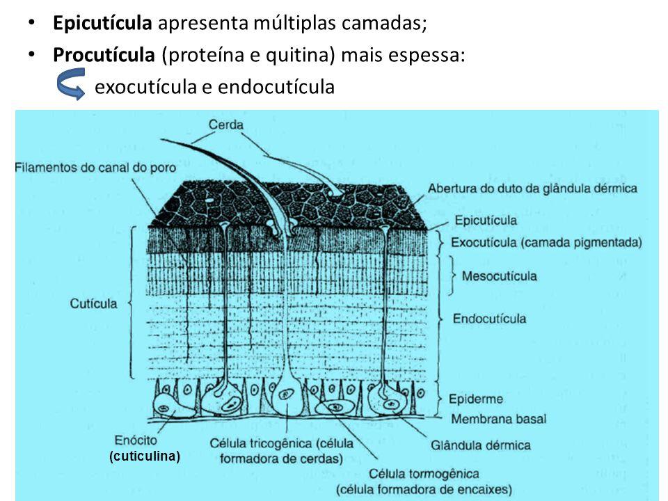 Epicutícula apresenta múltiplas camadas; Procutícula (proteína e quitina) mais espessa: exocutícula e endocutícula (cuticulina)