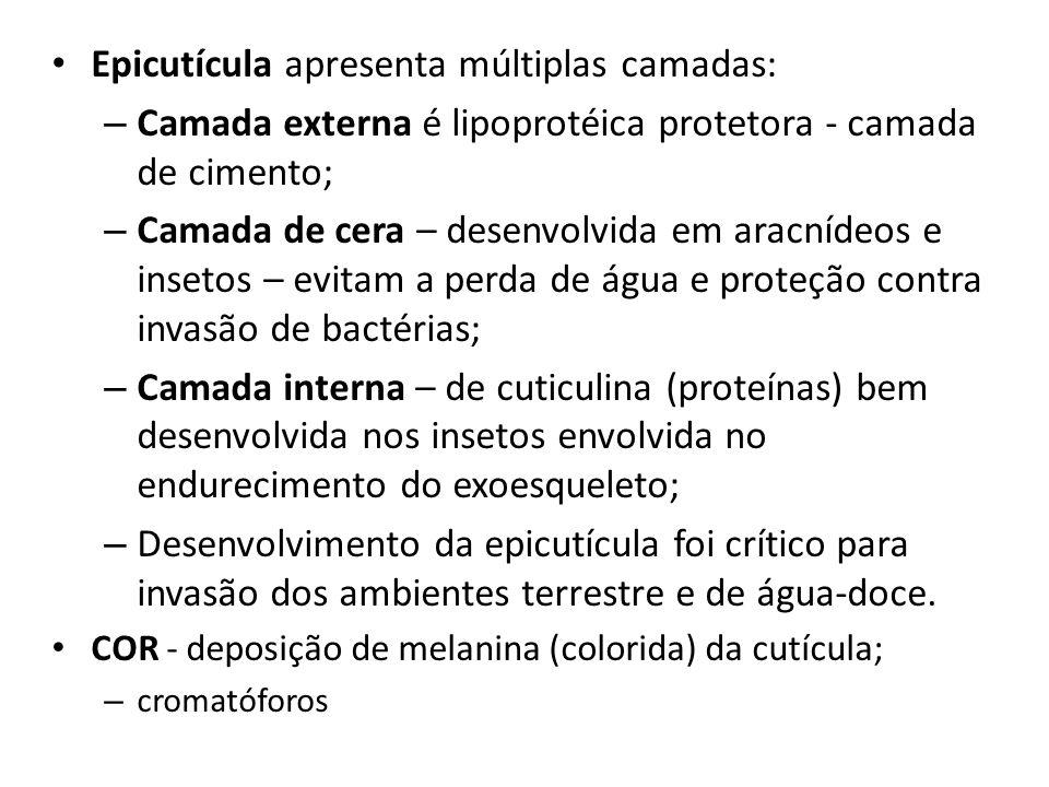 Epicutícula apresenta múltiplas camadas: – Camada externa é lipoprotéica protetora - camada de cimento; – Camada de cera – desenvolvida em aracnídeos