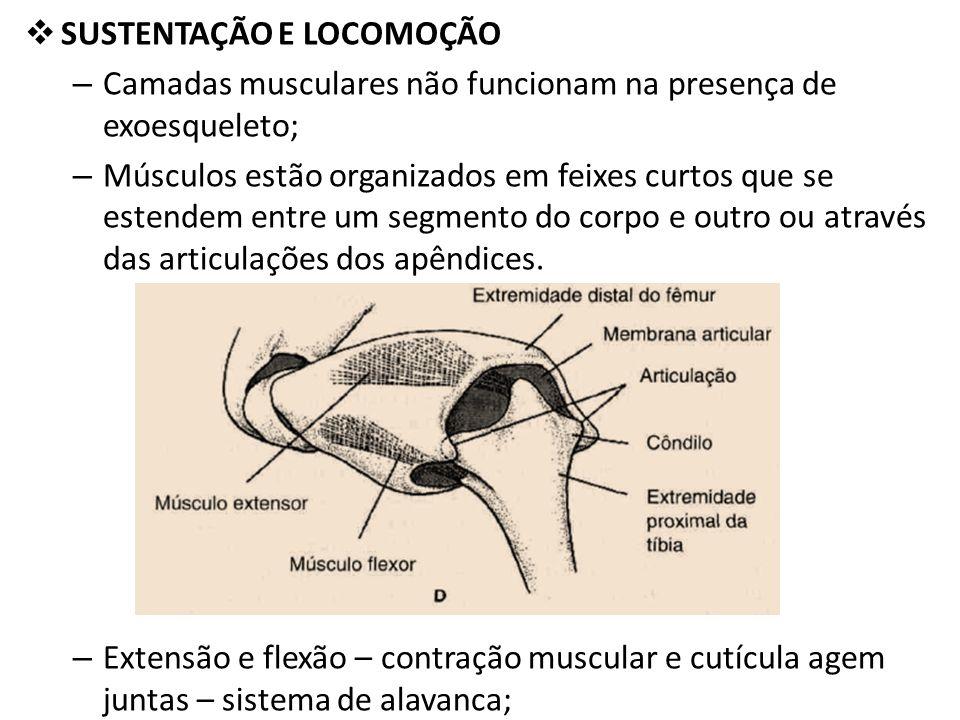 SUSTENTAÇÃO E LOCOMOÇÃO – Camadas musculares não funcionam na presença de exoesqueleto; – Músculos estão organizados em feixes curtos que se estendem