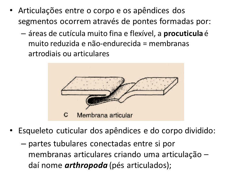 Articulações entre o corpo e os apêndices dos segmentos ocorrem através de pontes formadas por: – áreas de cutícula muito fina e flexível, a procuticu