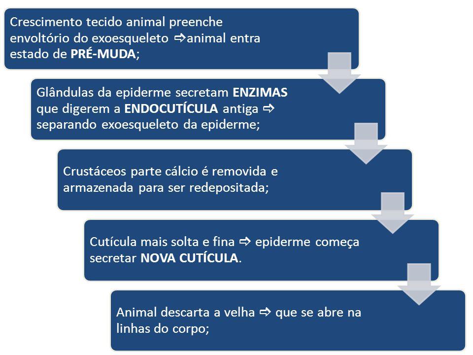 Crescimento tecido animal preenche envoltório do exoesqueleto animal entra estado de PRÉ-MUDA; Glândulas da epiderme secretam ENZIMAS que digerem a EN