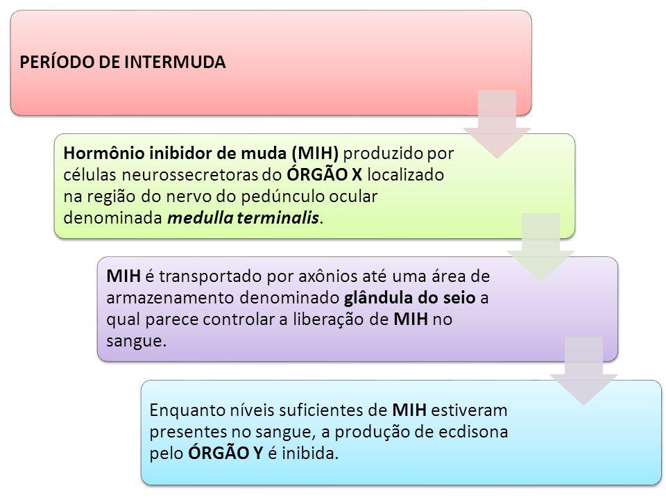 PERÍODO DE INTERMUDA Hormônio inibidor de muda (MIH) produzido por células neurossecretoras do ÓRGÃO X localizado na região do nervo do pedúnculo ocul