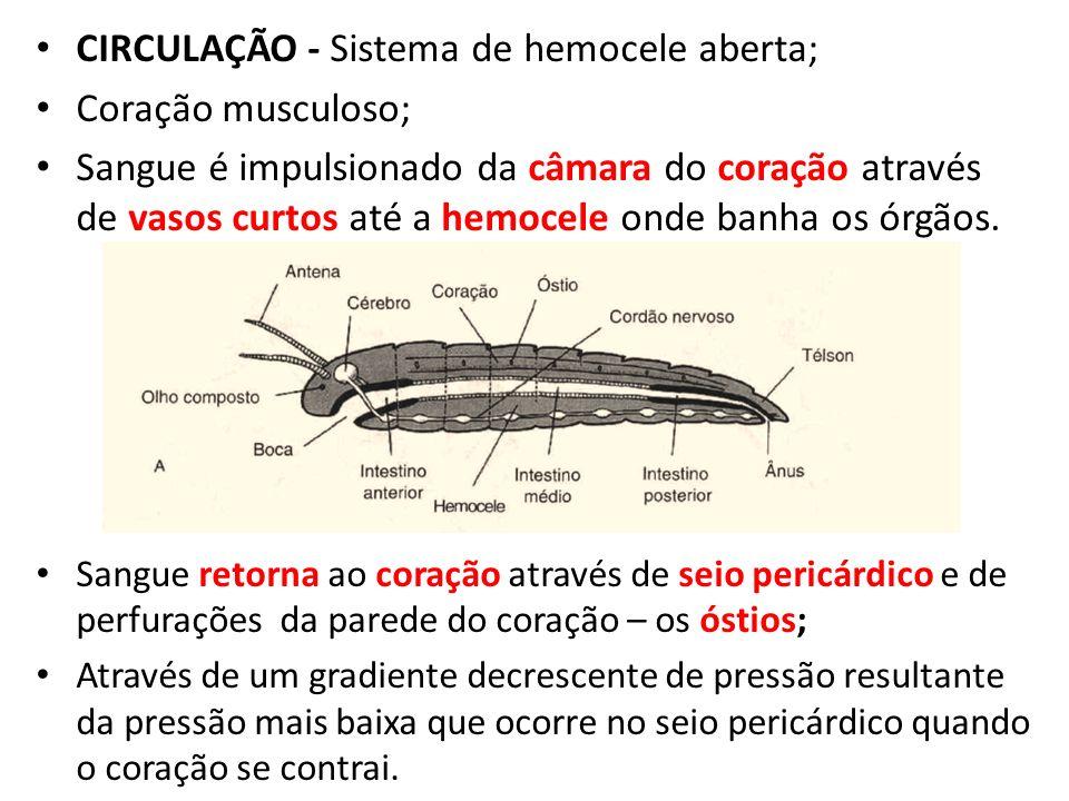 CIRCULAÇÃO - Sistema de hemocele aberta; Coração musculoso; Sangue é impulsionado da câmara do coração através de vasos curtos até a hemocele onde ban