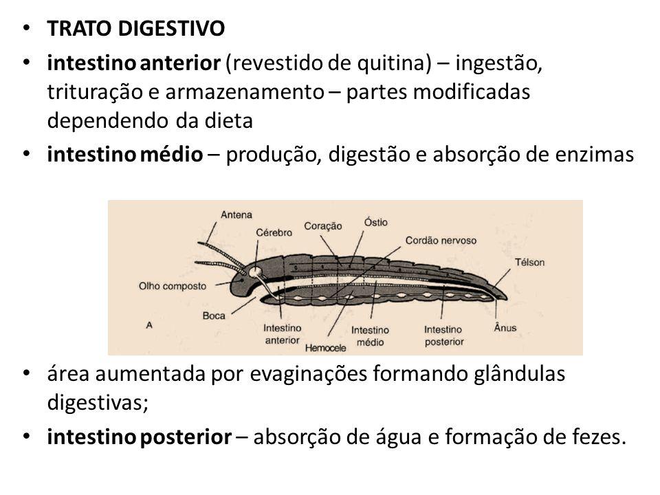 TRATO DIGESTIVO intestino anterior (revestido de quitina) – ingestão, trituração e armazenamento – partes modificadas dependendo da dieta intestino mé