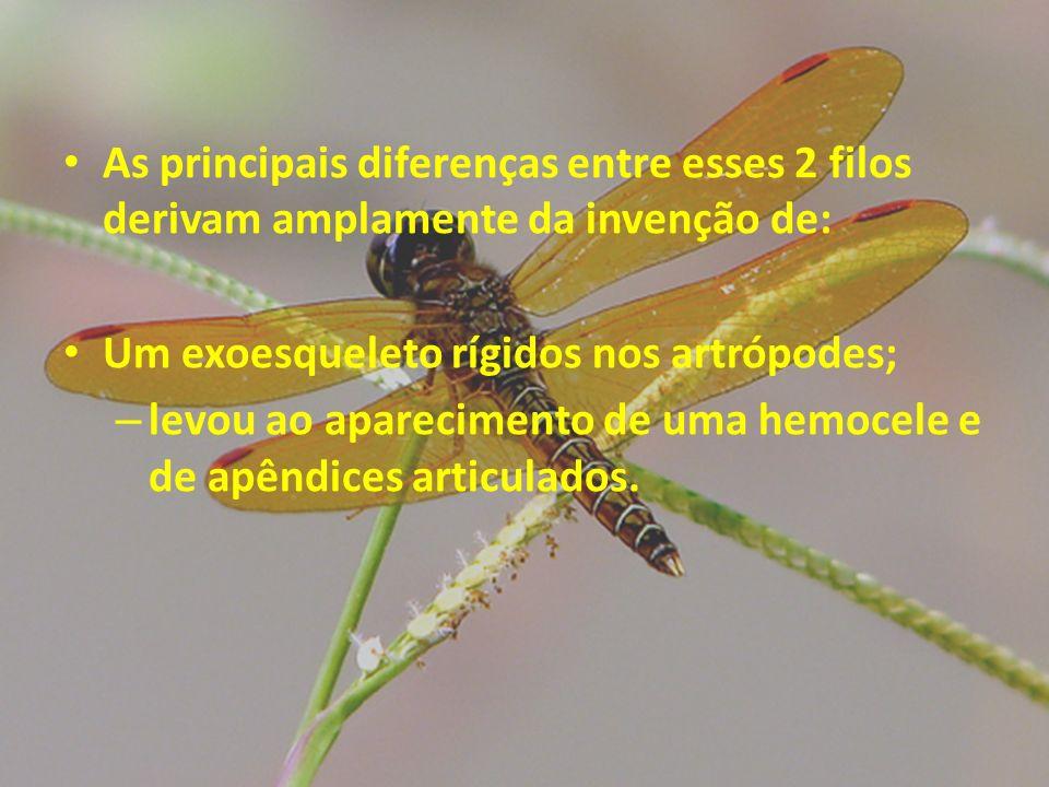 As principais diferenças entre esses 2 filos derivam amplamente da invenção de: Um exoesqueleto rígidos nos artrópodes; – levou ao aparecimento de uma