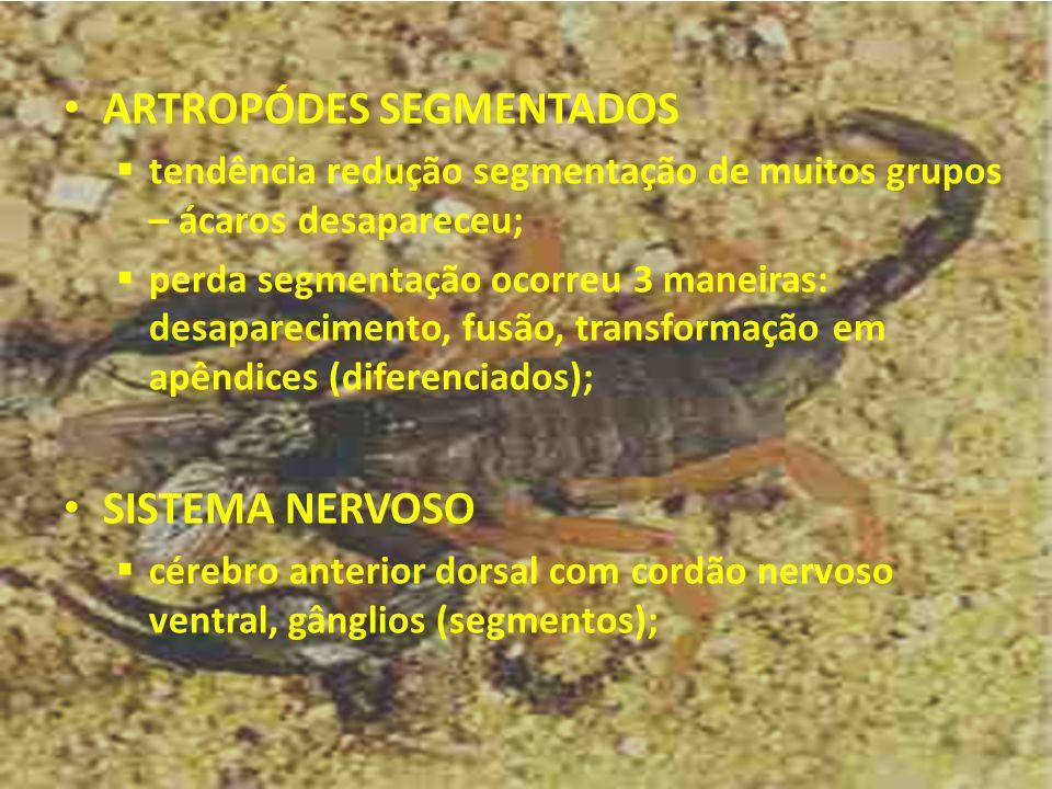 ARTROPÓDES SEGMENTADOS tendência redução segmentação de muitos grupos – ácaros desapareceu; perda segmentação ocorreu 3 maneiras: desaparecimento, fus