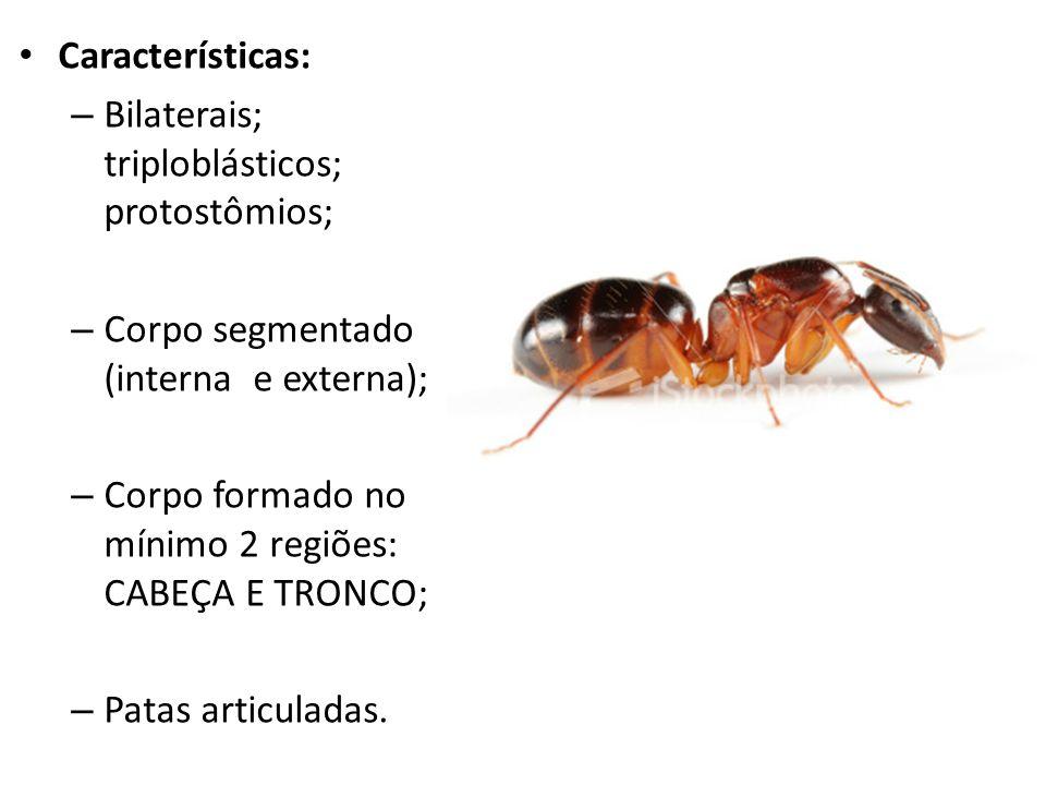 Características: – Bilaterais; triploblásticos; protostômios; – Corpo segmentado (interna e externa); – Corpo formado no mínimo 2 regiões: CABEÇA E TR
