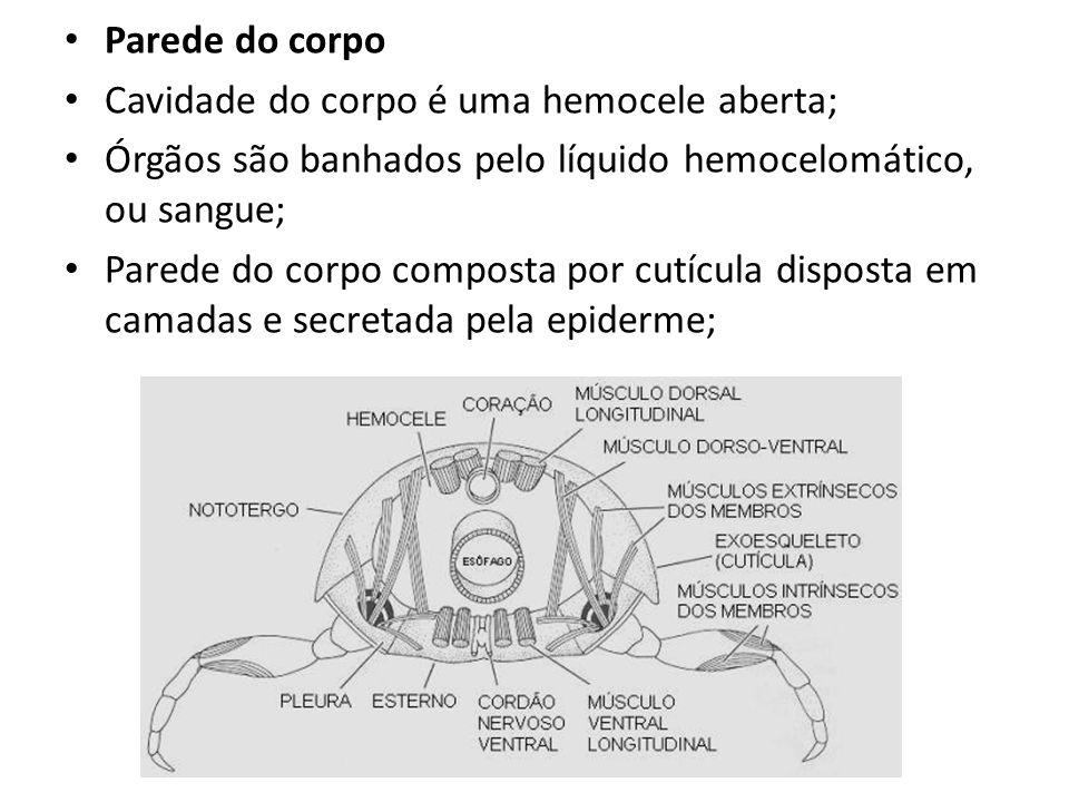 Parede do corpo Cavidade do corpo é uma hemocele aberta; Órgãos são banhados pelo líquido hemocelomático, ou sangue; Parede do corpo composta por cutí