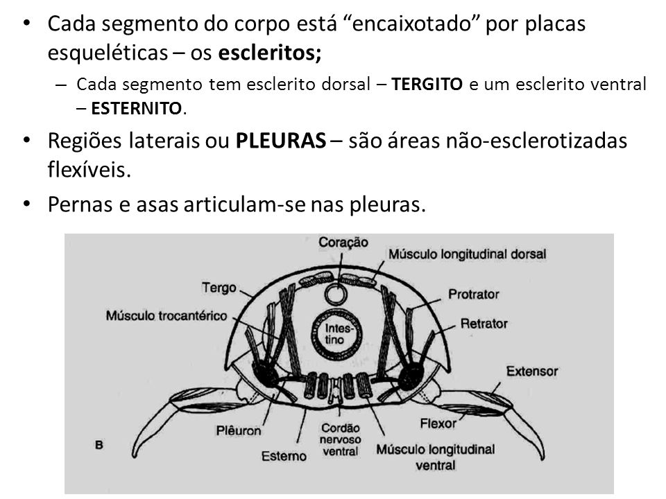 Cada segmento do corpo está encaixotado por placas esqueléticas – os escleritos; – Cada segmento tem esclerito dorsal – TERGITO e um esclerito ventral