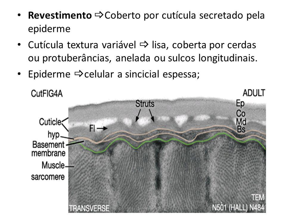 Revestimento Coberto por cutícula secretado pela epiderme Cutícula textura variável lisa, coberta por cerdas ou protuberâncias, anelada ou sulcos long