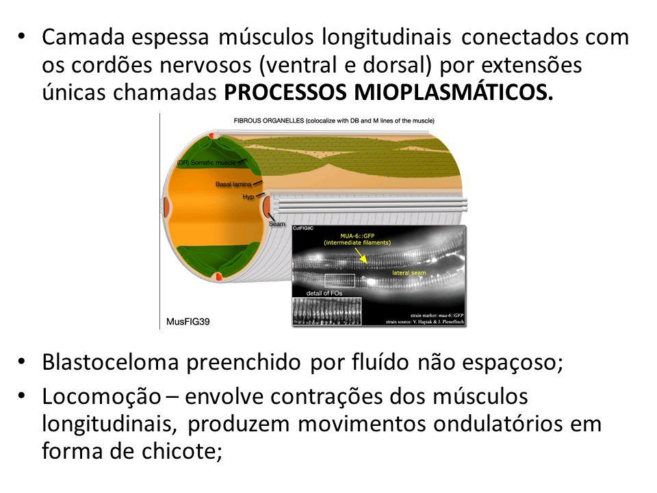 Camada espessa músculos longitudinais conectados com os cordões nervosos (ventral e dorsal) por extensões únicas chamadas PROCESSOS MIOPLASMÁTICOS. Bl