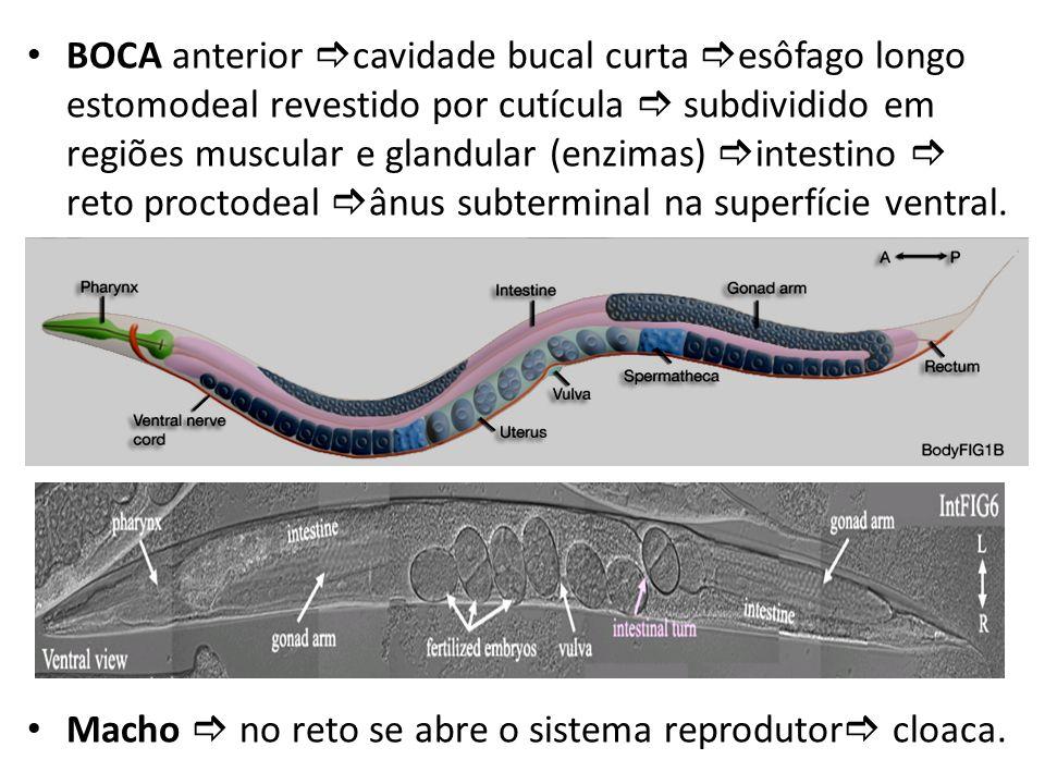 BOCA anterior cavidade bucal curta esôfago longo estomodeal revestido por cutícula subdividido em regiões muscular e glandular (enzimas) intestino ret