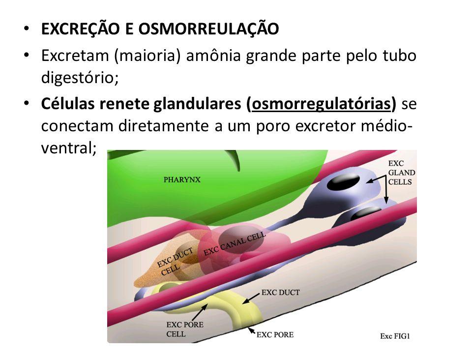 EXCREÇÃO E OSMORREULAÇÃO Excretam (maioria) amônia grande parte pelo tubo digestório; Células renete glandulares (osmorregulatórias) se conectam diret