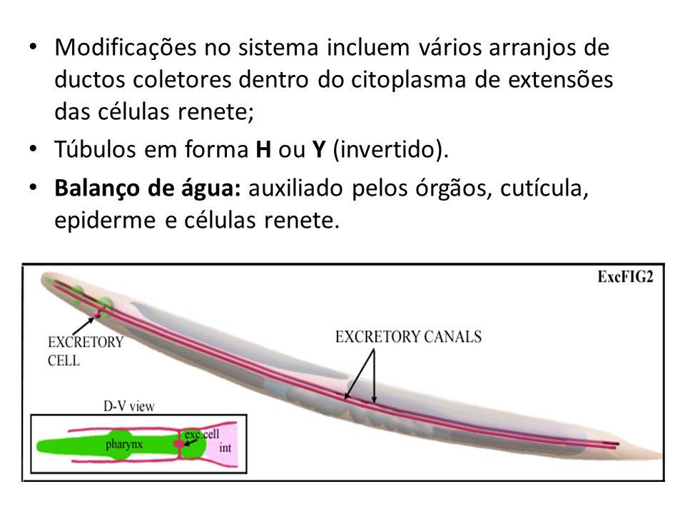 Modificações no sistema incluem vários arranjos de ductos coletores dentro do citoplasma de extensões das células renete; Túbulos em forma H ou Y (inv