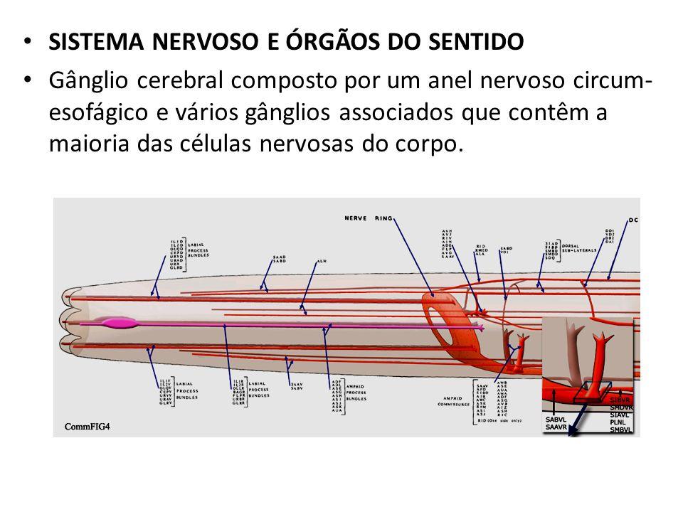 SISTEMA NERVOSO E ÓRGÃOS DO SENTIDO Gânglio cerebral composto por um anel nervoso circum- esofágico e vários gânglios associados que contêm a maioria