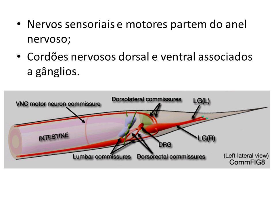 Nervos sensoriais e motores partem do anel nervoso; Cordões nervosos dorsal e ventral associados a gânglios.
