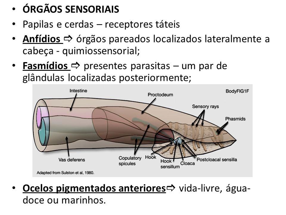 ÓRGÃOS SENSORIAIS Papilas e cerdas – receptores táteis Anfídios órgãos pareados localizados lateralmente a cabeça - quimiossensorial; Fasmídios presen