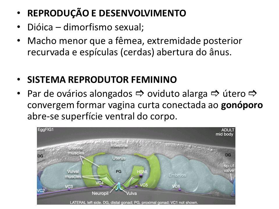 REPRODUÇÃO E DESENVOLVIMENTO Dióica – dimorfismo sexual; Macho menor que a fêmea, extremidade posterior recurvada e espículas (cerdas) abertura do ânu