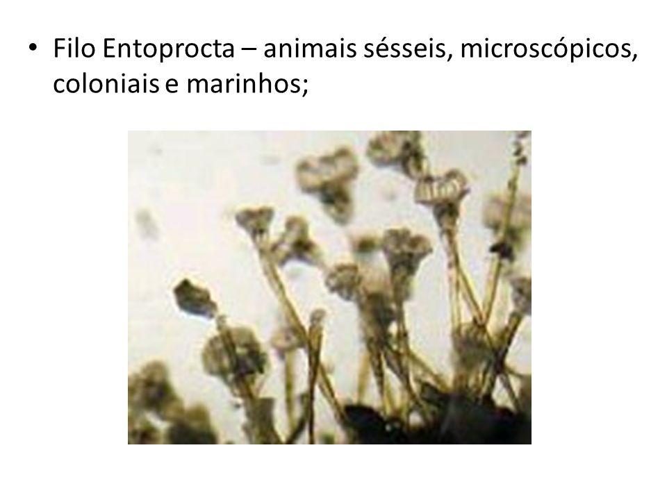 Filo Entoprocta – animais sésseis, microscópicos, coloniais e marinhos;