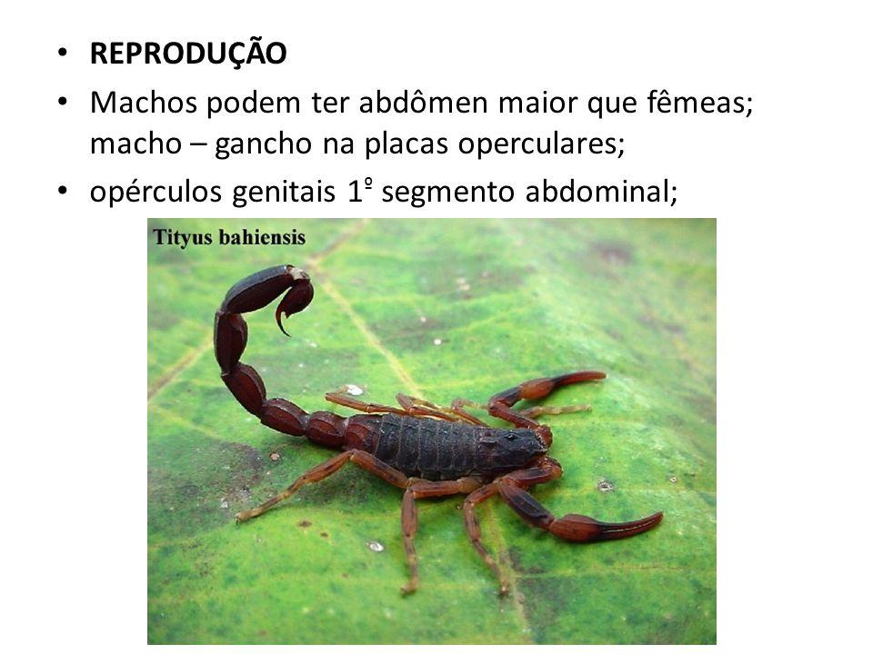 REPRODUÇÃO Machos podem ter abdômen maior que fêmeas; macho – gancho na placas operculares; opérculos genitais 1 º segmento abdominal;