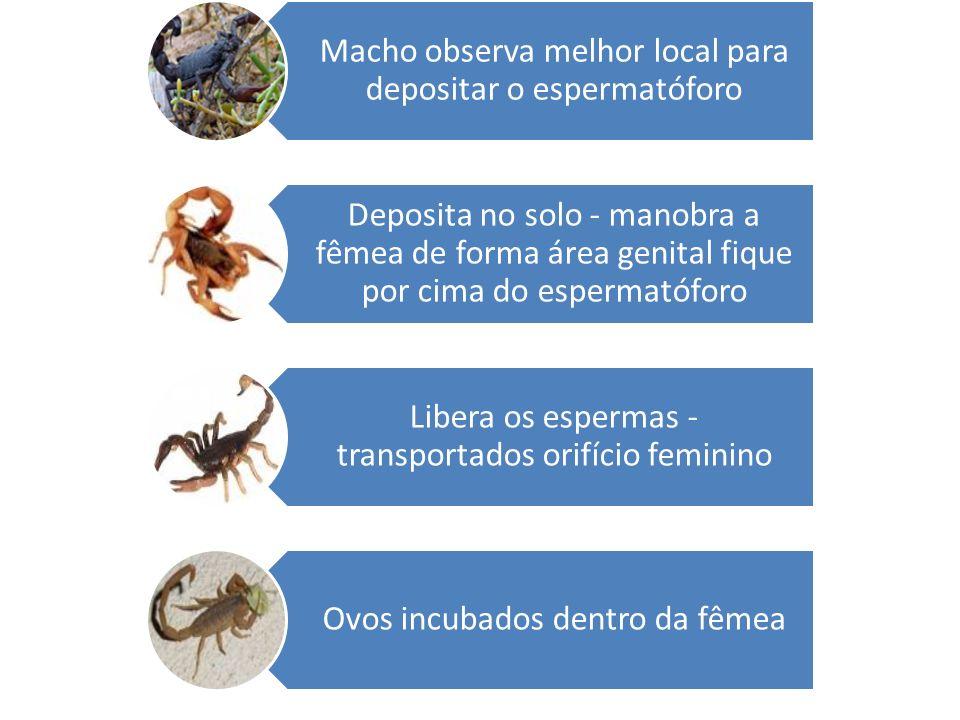 Macho observa melhor local para depositar o espermatóforo Deposita no solo - manobra a fêmea de forma área genital fique por cima do espermatóforo Lib