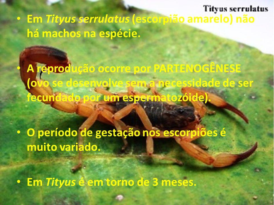 Em Tityus serrulatus (escorpião amarelo) não há machos na espécie. A reprodução ocorre por PARTENOGÊNESE (ovo se desenvolve sem a necessidade de ser f
