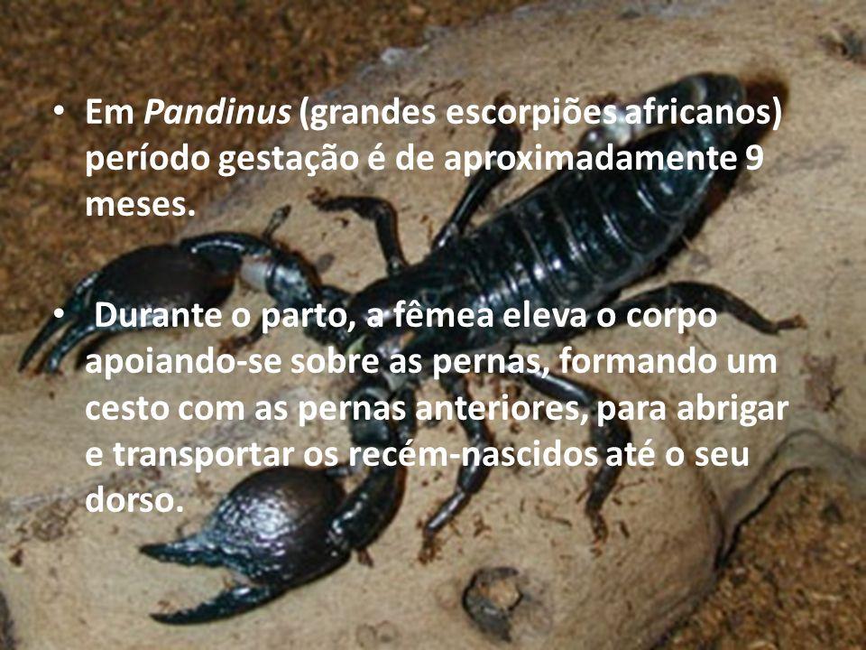 Em Pandinus (grandes escorpiões africanos) período gestação é de aproximadamente 9 meses. Durante o parto, a fêmea eleva o corpo apoiando-se sobre as