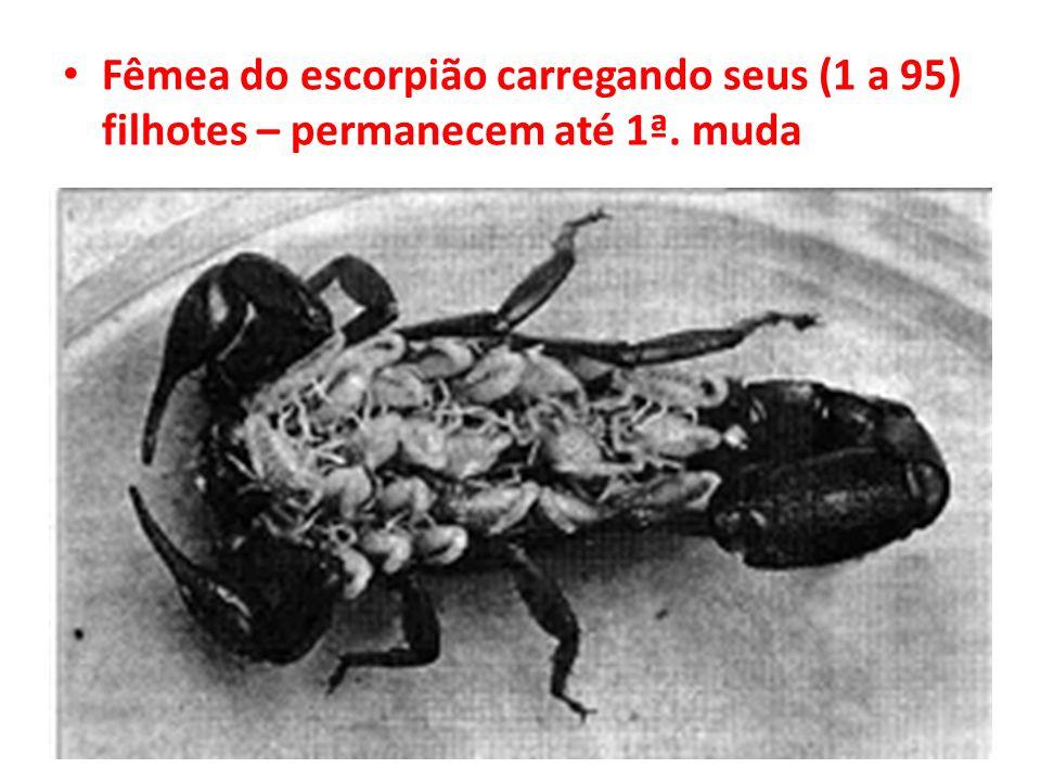 Fêmea do escorpião carregando seus (1 a 95) filhotes – permanecem até 1ª. muda
