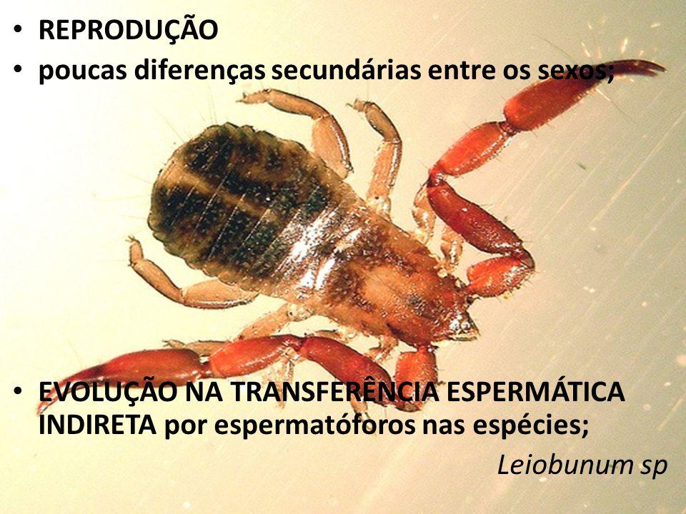REPRODUÇÃO poucas diferenças secundárias entre os sexos; EVOLUÇÃO NA TRANSFERÊNCIA ESPERMÁTICA INDIRETA por espermatóforos nas espécies; Leiobunum sp