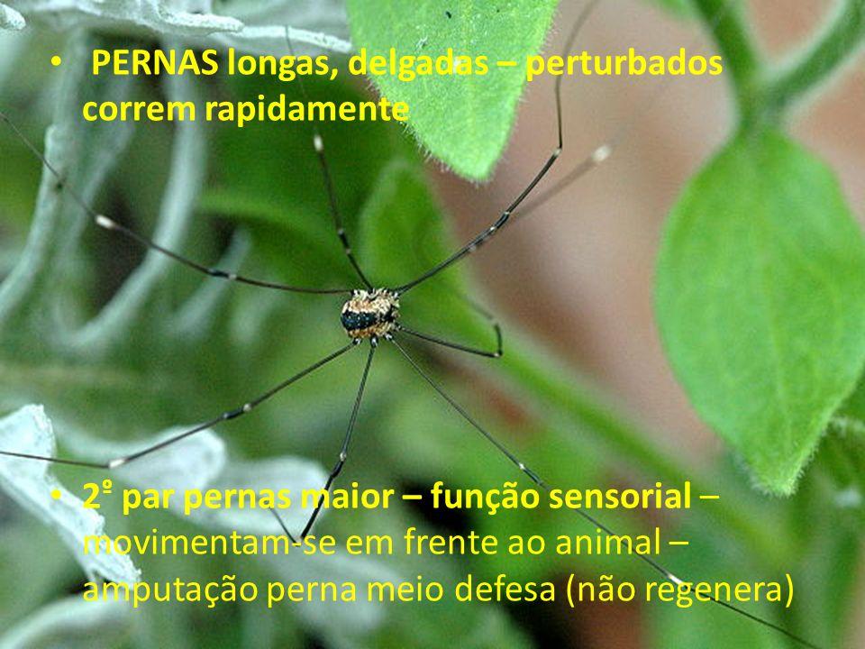 PERNAS longas, delgadas – perturbados correm rapidamente 2 º par pernas maior – função sensorial – movimentam-se em frente ao animal – amputação perna